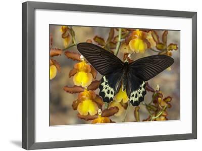 Priapus Batwing Swallowtail Butterfly, Atrophaneura Priapus-Darrell Gulin-Framed Photographic Print