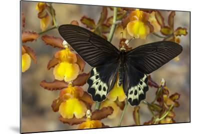 Priapus Batwing Swallowtail Butterfly, Atrophaneura Priapus-Darrell Gulin-Mounted Photographic Print