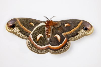 Cecropia Silk Moth Female, Comparing Upper and Underside Wings-Darrell Gulin-Framed Photographic Print