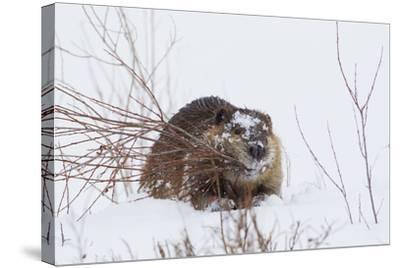 Beaver, Winter Food-Ken Archer-Stretched Canvas Print