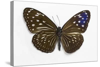Striped Blue Crow Butterfly Female, Comparing the Top and Bottom Wings-Darrell Gulin-Stretched Canvas Print