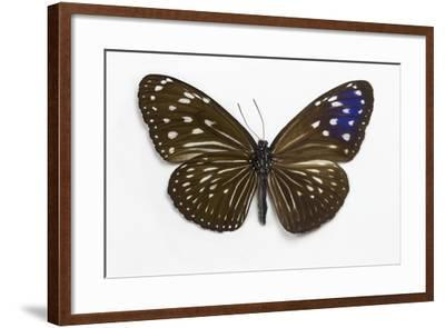 Striped Blue Crow Butterfly Female, Comparing the Top and Bottom Wings-Darrell Gulin-Framed Photographic Print