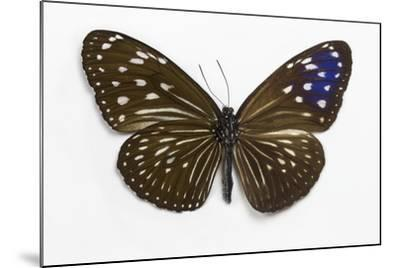 Striped Blue Crow Butterfly Female, Comparing the Top and Bottom Wings-Darrell Gulin-Mounted Photographic Print