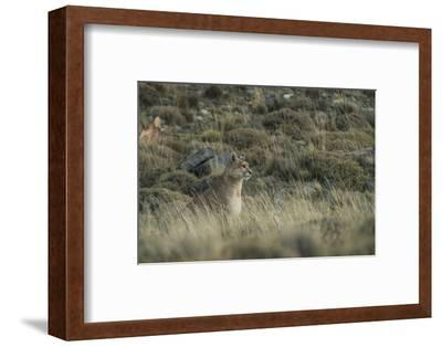 Puma Female, Torres del Paine NP, Patagonia, Magellanic Region, Chile-Pete Oxford-Framed Photographic Print