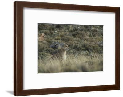 Puma Female, Torres del Paine NP, Patagonia, Magellanic Region, Chile-Pete Oxford-Framed Photographic Print
