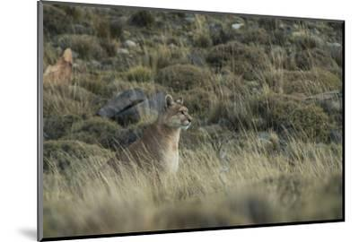 Puma Female, Torres del Paine NP, Patagonia, Magellanic Region, Chile-Pete Oxford-Mounted Photographic Print