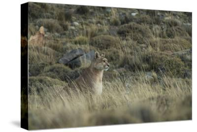 Puma Female, Torres del Paine NP, Patagonia, Magellanic Region, Chile-Pete Oxford-Stretched Canvas Print