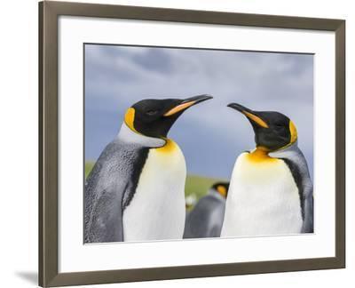 King Penguin, Falkland Islands, South Atlantic-Martin Zwick-Framed Photographic Print