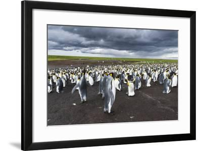 King Penguin Colony on the Falkland Islands, South Atlantic-Martin Zwick-Framed Photographic Print