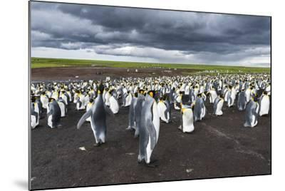 King Penguin Colony on the Falkland Islands, South Atlantic-Martin Zwick-Mounted Photographic Print
