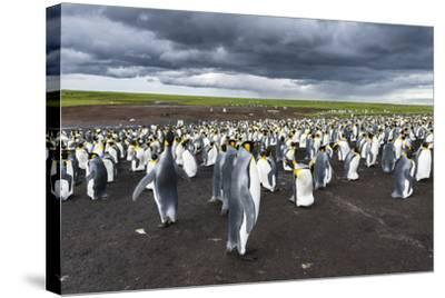 King Penguin Colony on the Falkland Islands, South Atlantic-Martin Zwick-Stretched Canvas Print