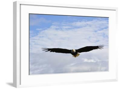 USA, Alaska, Southeast, Ketchikan, Bald Eagle-Savanah Stewart-Framed Photographic Print
