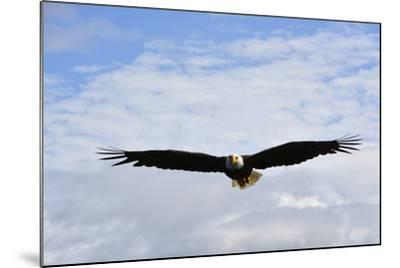 USA, Alaska, Southeast, Ketchikan, Bald Eagle-Savanah Stewart-Mounted Photographic Print