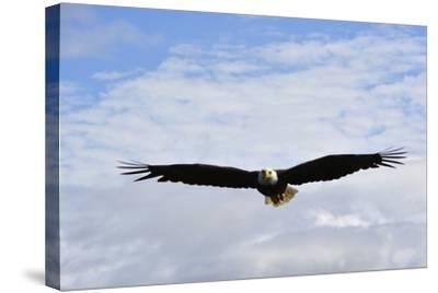 USA, Alaska, Southeast, Ketchikan, Bald Eagle-Savanah Stewart-Stretched Canvas Print