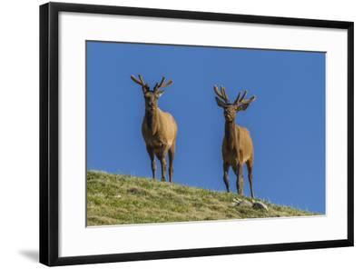 USA, Colorado, Rocky Mountain National Park. Bull Elks on Ridge-Cathy & Gordon Illg-Framed Photographic Print