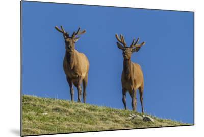USA, Colorado, Rocky Mountain National Park. Bull Elks on Ridge-Cathy & Gordon Illg-Mounted Photographic Print