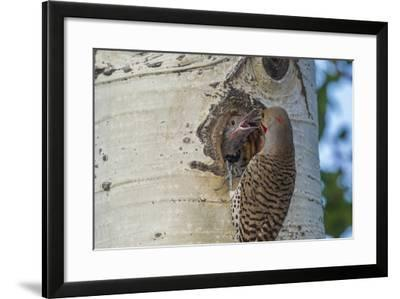 USA, Colorado, Rocky Mountain NP. Red-Shafted Flicker Feeds Nestling-Cathy & Gordon Illg-Framed Photographic Print