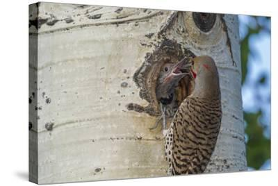 USA, Colorado, Rocky Mountain NP. Red-Shafted Flicker Feeds Nestling-Cathy & Gordon Illg-Stretched Canvas Print