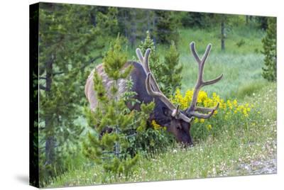 USA, Colorado, Rocky Mountain National Park. Bull Elk Grazing-Cathy & Gordon Illg-Stretched Canvas Print