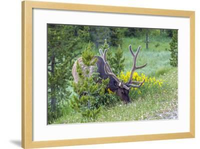 USA, Colorado, Rocky Mountain National Park. Bull Elk Grazing-Cathy & Gordon Illg-Framed Photographic Print