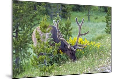 USA, Colorado, Rocky Mountain National Park. Bull Elk Grazing-Cathy & Gordon Illg-Mounted Photographic Print