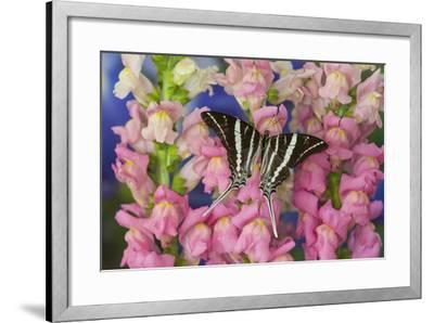 Rhesus Swallowtail Butterfly, Graphium Rhesus-Darrell Gulin-Framed Photographic Print