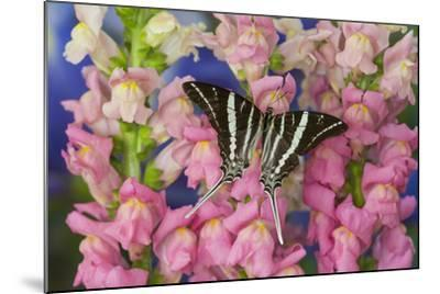 Rhesus Swallowtail Butterfly, Graphium Rhesus-Darrell Gulin-Mounted Photographic Print