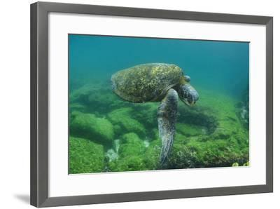 Galapagos Green Sea Turtle Underwater, Galapagos Islands, Ecuador-Pete Oxford-Framed Photographic Print