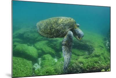 Galapagos Green Sea Turtle Underwater, Galapagos Islands, Ecuador-Pete Oxford-Mounted Photographic Print