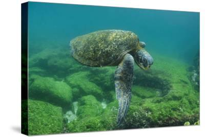 Galapagos Green Sea Turtle Underwater, Galapagos Islands, Ecuador-Pete Oxford-Stretched Canvas Print
