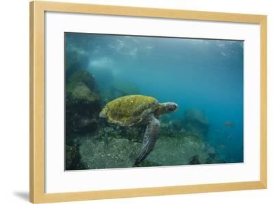 Galapagos Green Sea Turtle Underwater, Galapagos Islands, Ecuador-Pete Oxford-Framed Photographic Print