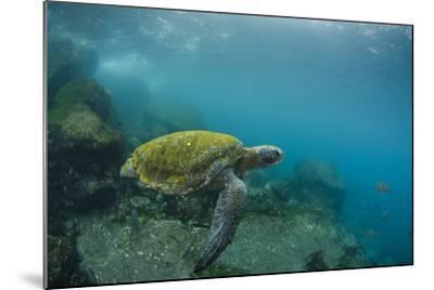Galapagos Green Sea Turtle Underwater, Galapagos Islands, Ecuador-Pete Oxford-Mounted Photographic Print