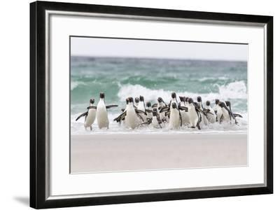 Rockhopper Penguin. Landing as a Group to Give Individuals Safety-Martin Zwick-Framed Photographic Print