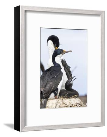 Imperial Shag in a Huge Rookery. Adult with Chick in Nest-Martin Zwick-Framed Photographic Print