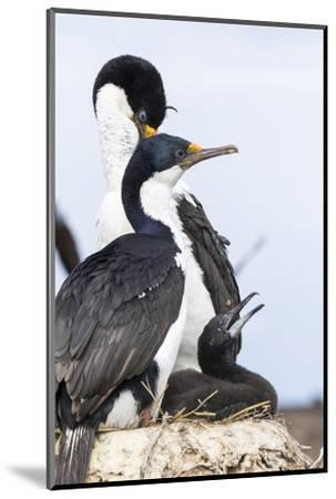 Imperial Shag in a Huge Rookery. Adult with Chick in Nest-Martin Zwick-Mounted Photographic Print