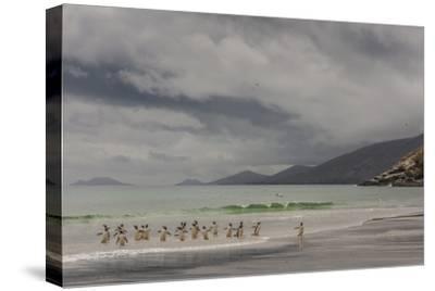 Falkland Islands, Saunders Island. Gentoo Penguins Coming Ashore-Cathy & Gordon Illg-Stretched Canvas Print