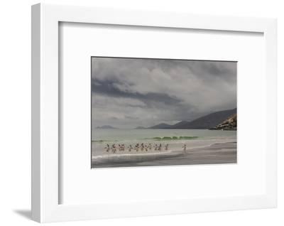 Falkland Islands, Saunders Island. Gentoo Penguins Coming Ashore-Cathy & Gordon Illg-Framed Photographic Print