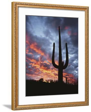 Arizona, Organ Pipe Cactus National Monument, Saguaro Cacti at Sunset-Christopher Talbot Frank-Framed Photographic Print