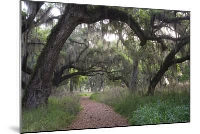 Morning Light Illuminating the Moss Covered Oak Trees in Florida-Sheila Haddad-Mounted Photographic Print