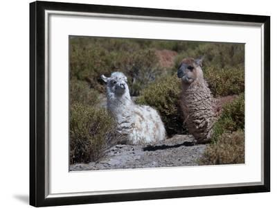 Chile, Andes Mountains, Tara Salt Lake. Close Up of Llamas Resting-Mallorie Ostrowitz-Framed Photographic Print