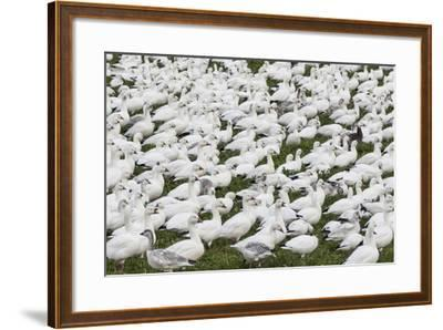 New Mexico, Bosque del Apache NWR. Snow Geese Flock on Grass-Don Paulson-Framed Photographic Print