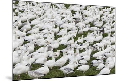 New Mexico, Bosque del Apache NWR. Snow Geese Flock on Grass-Don Paulson-Mounted Photographic Print
