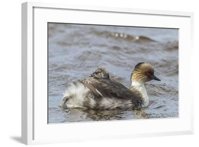 Falkland Islands, Sea Lion Island. Silvery Grebe with Chick on Back-Cathy & Gordon Illg-Framed Photographic Print