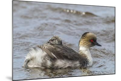 Falkland Islands, Sea Lion Island. Silvery Grebe with Chick on Back-Cathy & Gordon Illg-Mounted Photographic Print