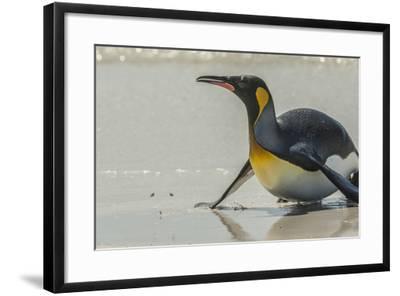 Falkland Islands, East Falkland. King Penguin on Beach-Cathy & Gordon Illg-Framed Photographic Print