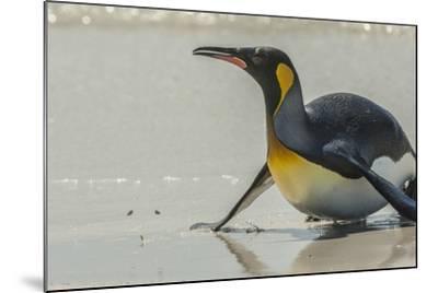 Falkland Islands, East Falkland. King Penguin on Beach-Cathy & Gordon Illg-Mounted Photographic Print