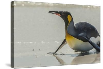 Falkland Islands, East Falkland. King Penguin on Beach-Cathy & Gordon Illg-Stretched Canvas Print