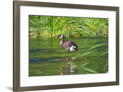 Canada Goose on the Los Angeles River, Los Angeles, California-Peter Bennett-Framed Photographic Print