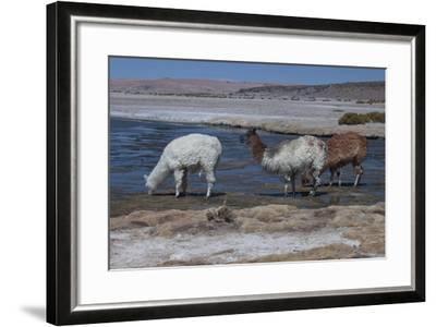 Chile, Pakana, Semi-Wild Llamas Drinking at the Tara Salt Lake-Mallorie Ostrowitz-Framed Photographic Print