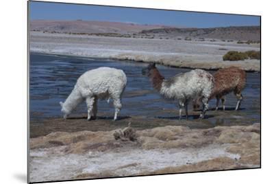 Chile, Pakana, Semi-Wild Llamas Drinking at the Tara Salt Lake-Mallorie Ostrowitz-Mounted Photographic Print